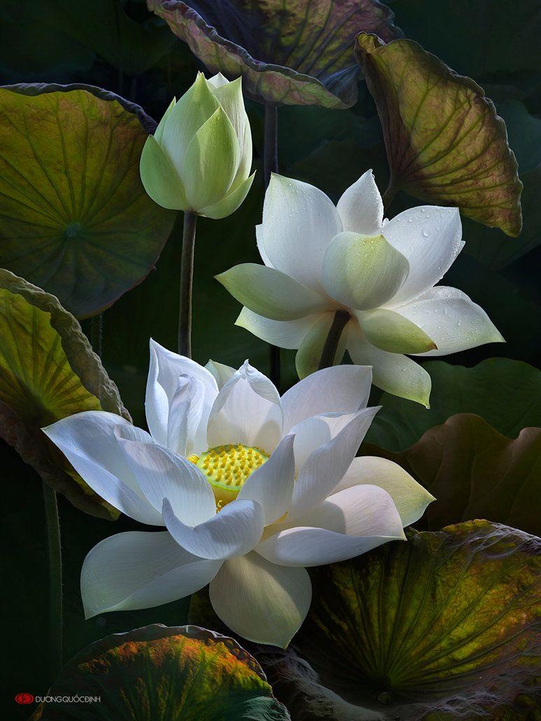 Lotus by duongquocdinh on deviantart flowers pinterest lotus flower power izmirmasajfo