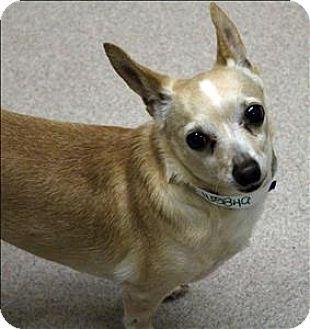 Birmingham Al Chihuahua Mix Meet Uncle A Dog For Adoption