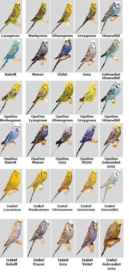 Birds Birds Budgies Budgies Bird Budgerigar