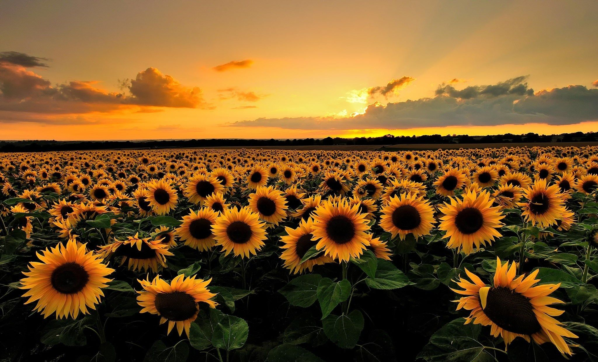 2048x1240 free desktop wallpaper downloads sunflower | backgrounds