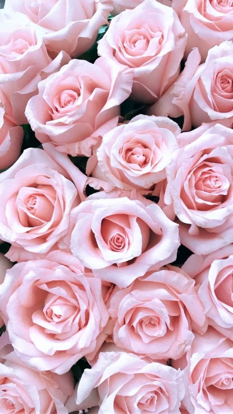 Light Pink Roses Flower Phone Wallpaper Rose Wallpaper Pink