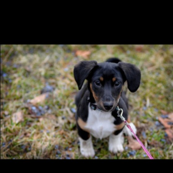 Our Jack Russell Terrior Daschound Mix Puppy Cute Little