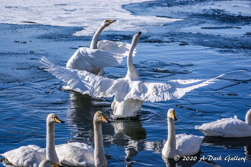 今朝、青空広がる天気の中10kmランです気持ち良く走っていると、20羽程の白鳥が見事な三角形をなして飛行して来ました次から次へと白鳥の群れが、頭上を駆け抜けて行きますカメラを持っていない事、悔やまれました大沼公園白鳥台セバット#白鳥#写真好きな人と繋がりがたい #冬pic.twitter.com/AT0PVwc9qZ