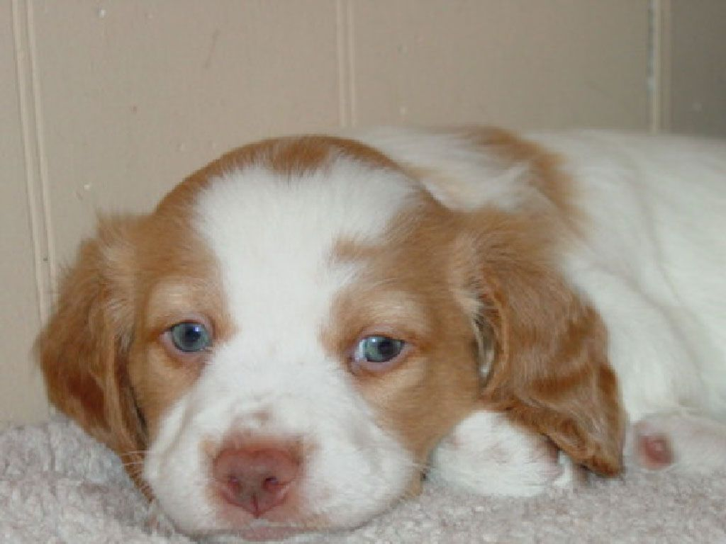 Photos From Posts Brittany Spaniel Cute Puppies Dogs And Puppies