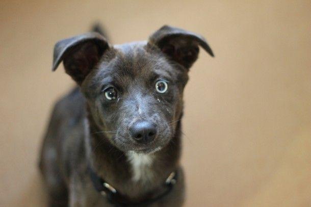 Contessa Border Collie Mix 3 Months Female Find Me On Pawschicago Org Puppies Animal Rescue Border Collie Mix