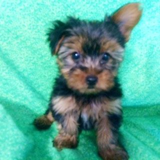 Prettiest Puppies Austin And Central Texas Yorkie Puppies For Adoption Or Sale Yorkie Puppies For Adoption Yorkie Puppy For Sale Yorkie Puppy