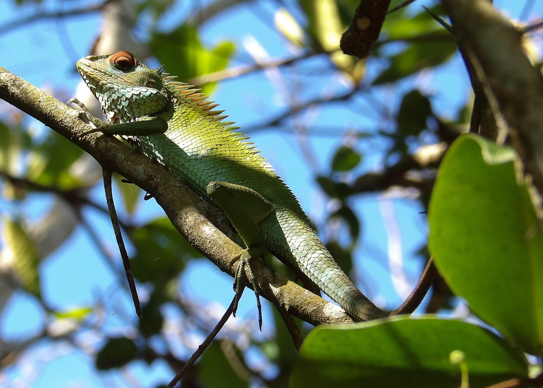Agame Versicolore   Calotes Versicolor   Agama Oriental Garden Lizard   Sri  Lanka