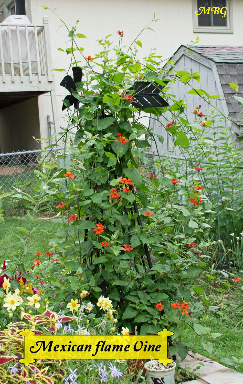 Mexican Flame Vine- Climbing Vine for Monarch Butterflies ...