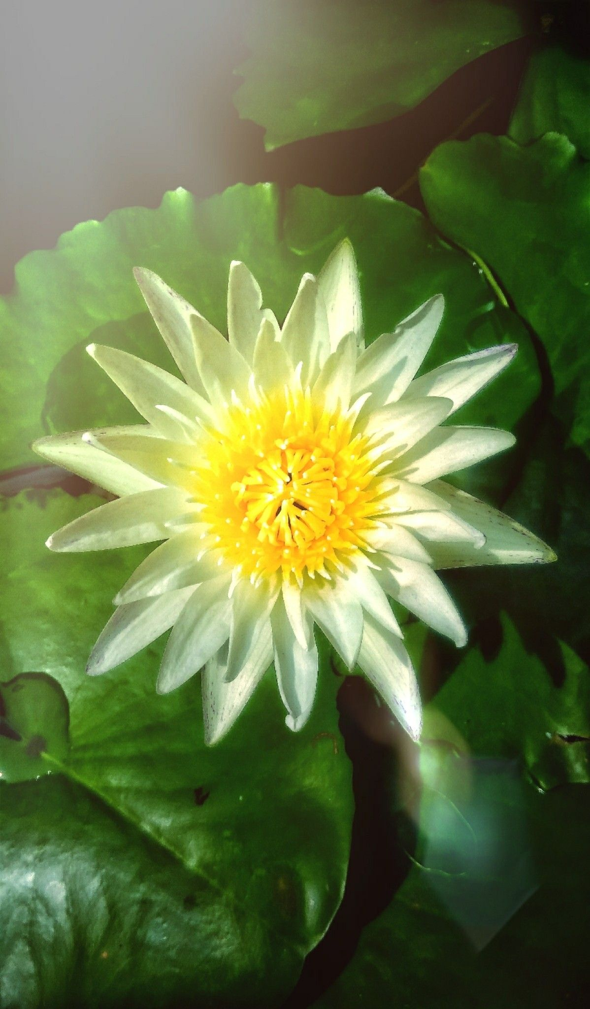 Beautiful White Lotus Flower In The Flower Garden Behind The House