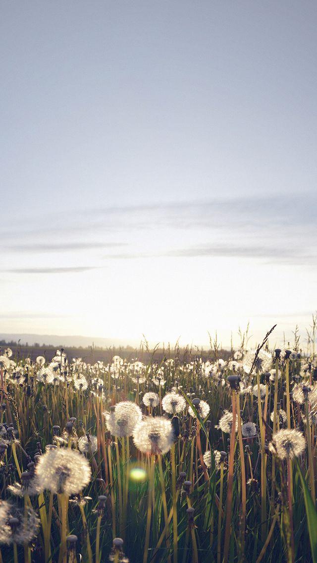 Nature Love Flower Dandelion Field #iPhone #5s #wallpaper