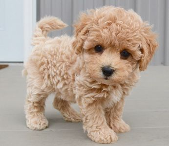 The Total And Complete List Of Hypoallergenic Dogs
