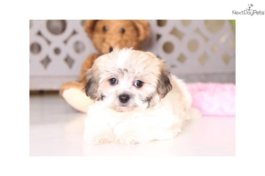 Iris Shichon Puppy For Sale Near Columbus Ohio 0d948cdd 69c1 With Images Shichon Puppies Teddy Bear Puppies Puppies