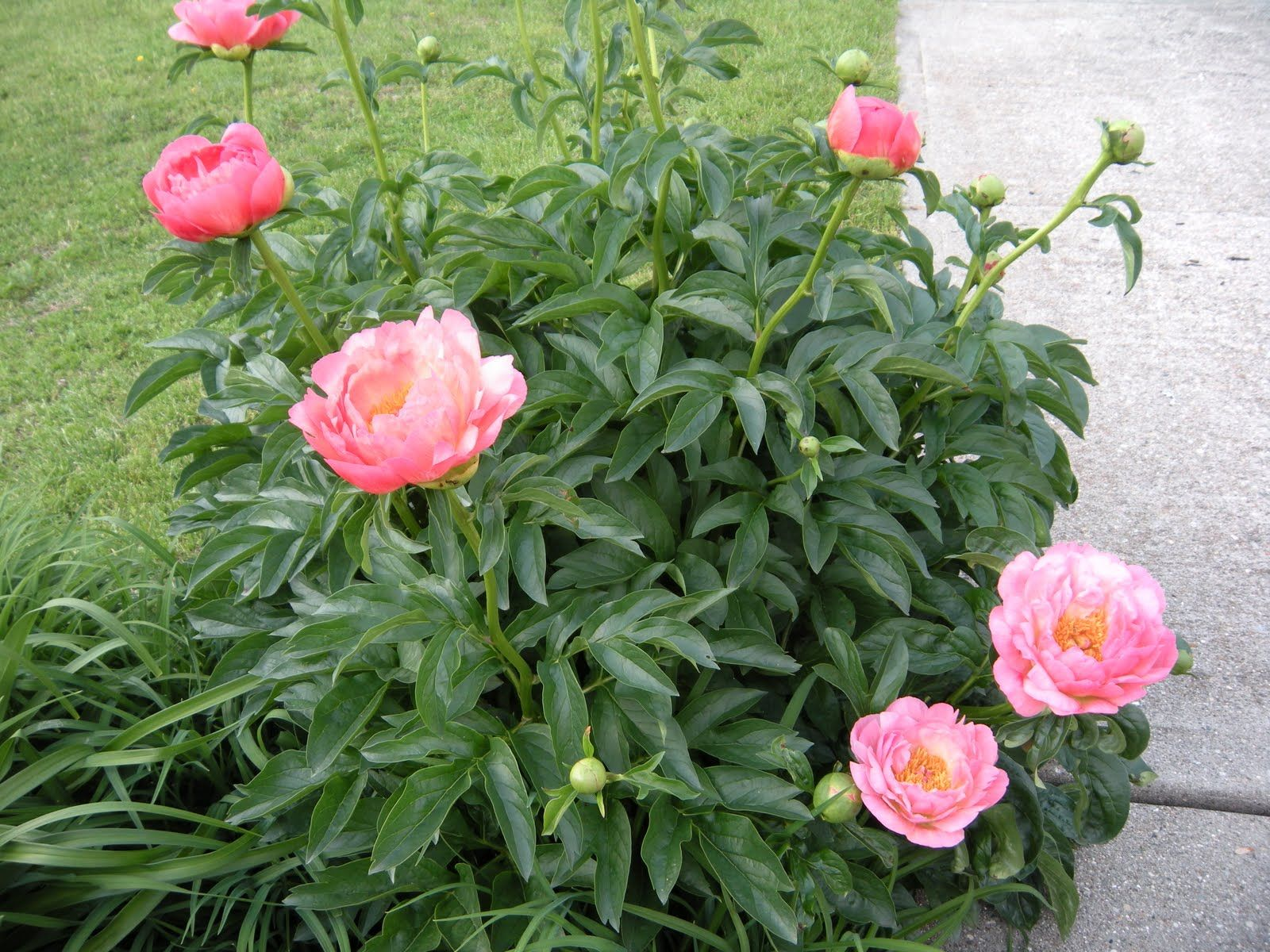 The Mysterious Garden Muse: In Praise of Peonies etched salmon ...