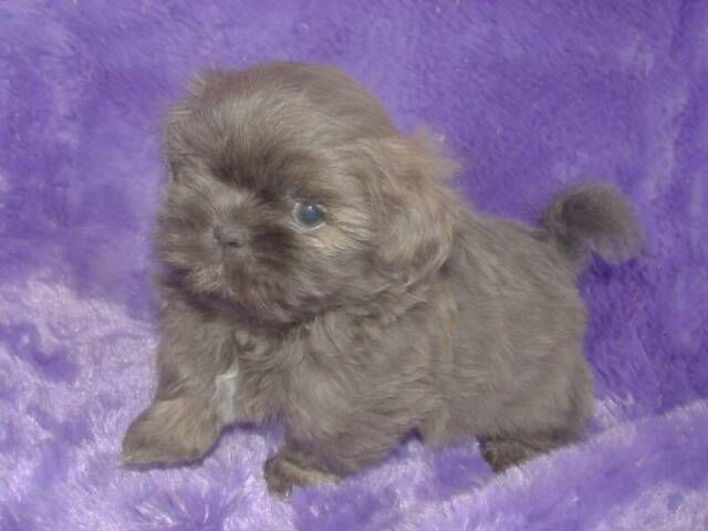 A Brilliant Lavender Shih Tzu Puppy Now Please Shih Tzu Shih