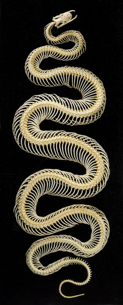 snake skeleton   sculls   Pinterest   Anatomía animal, Serpientes y ...