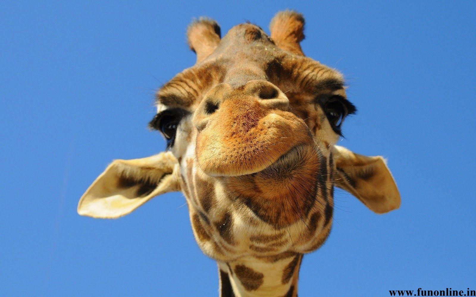 Funny Giraffe Giraffe Wallpapers Tallest Animal Giraffe