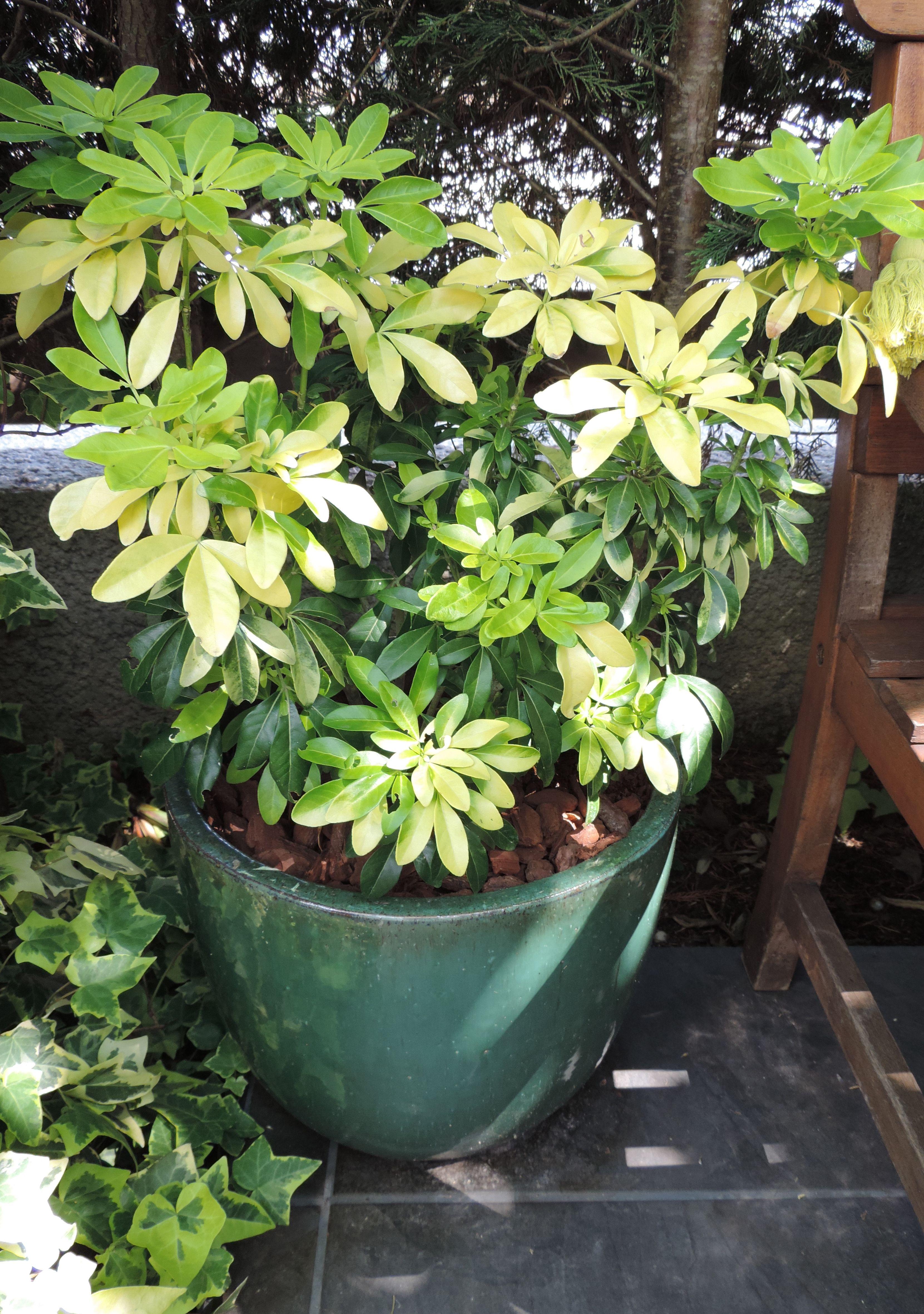 Oranger Du Mexique En Pot Oranger Du Mexique Deco Balcon Jardins