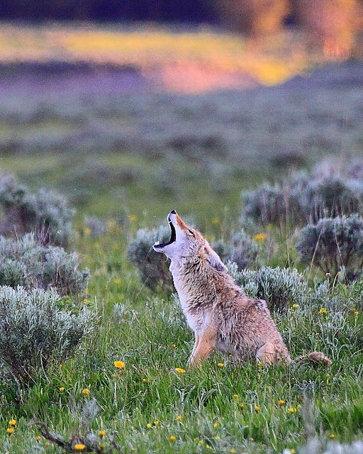 Coyote Howling, Hayden Valley, Yellowstone National Park ...
