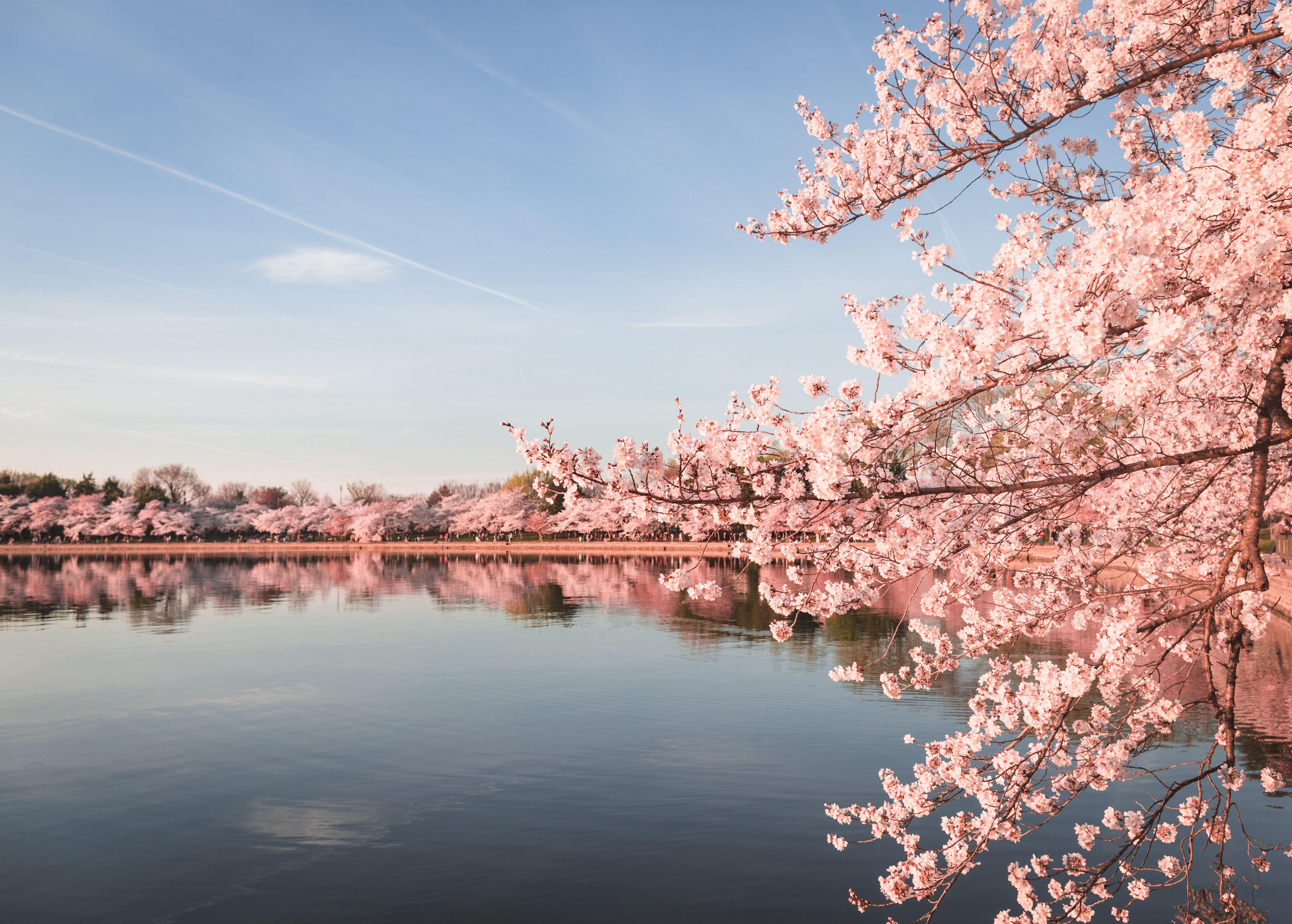 Amazing Photos Of Peak Cherry Blossom Bloom In Dc Cherry Blossom Dc Cherry Blossom Festival Cherry Blossom