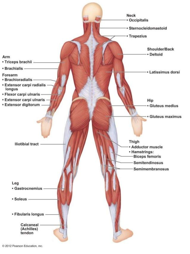 muscle anatomy quiz - google search | anatomy reference, Muscles