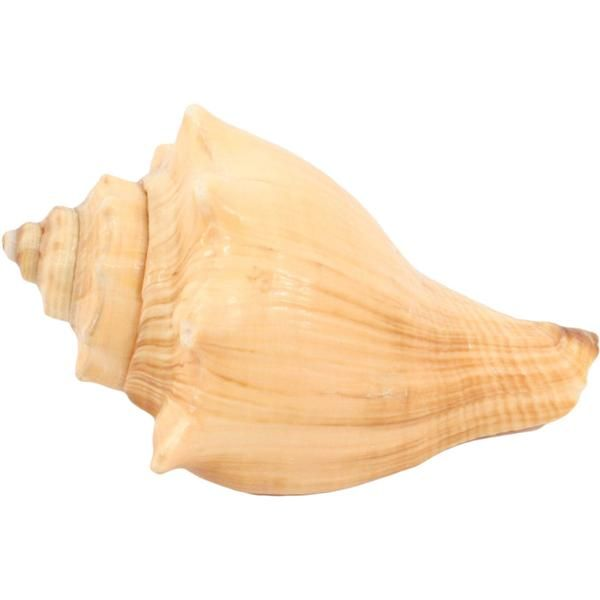 Fox Shell Seashell In 2020 (With Images)