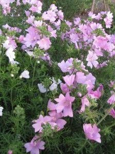 fleur comestible | potager ornemental de catherine vivace