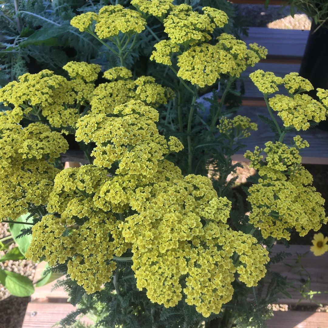 Knollwood Garden Center On Instagram Achillea Firefly Sunshine Want A Vivid Bloomer That Performs Over The Long Haul Without S In 2020 Garden Center Achillea Yarrow