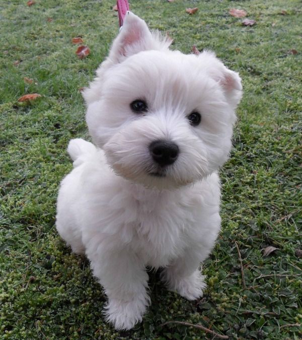 Awww Westie Pup Xxoo Too Young To Keep Both Ears Up At The