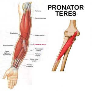 pronator teres: medial epicondyle of humerus, conoid process of, Human Body