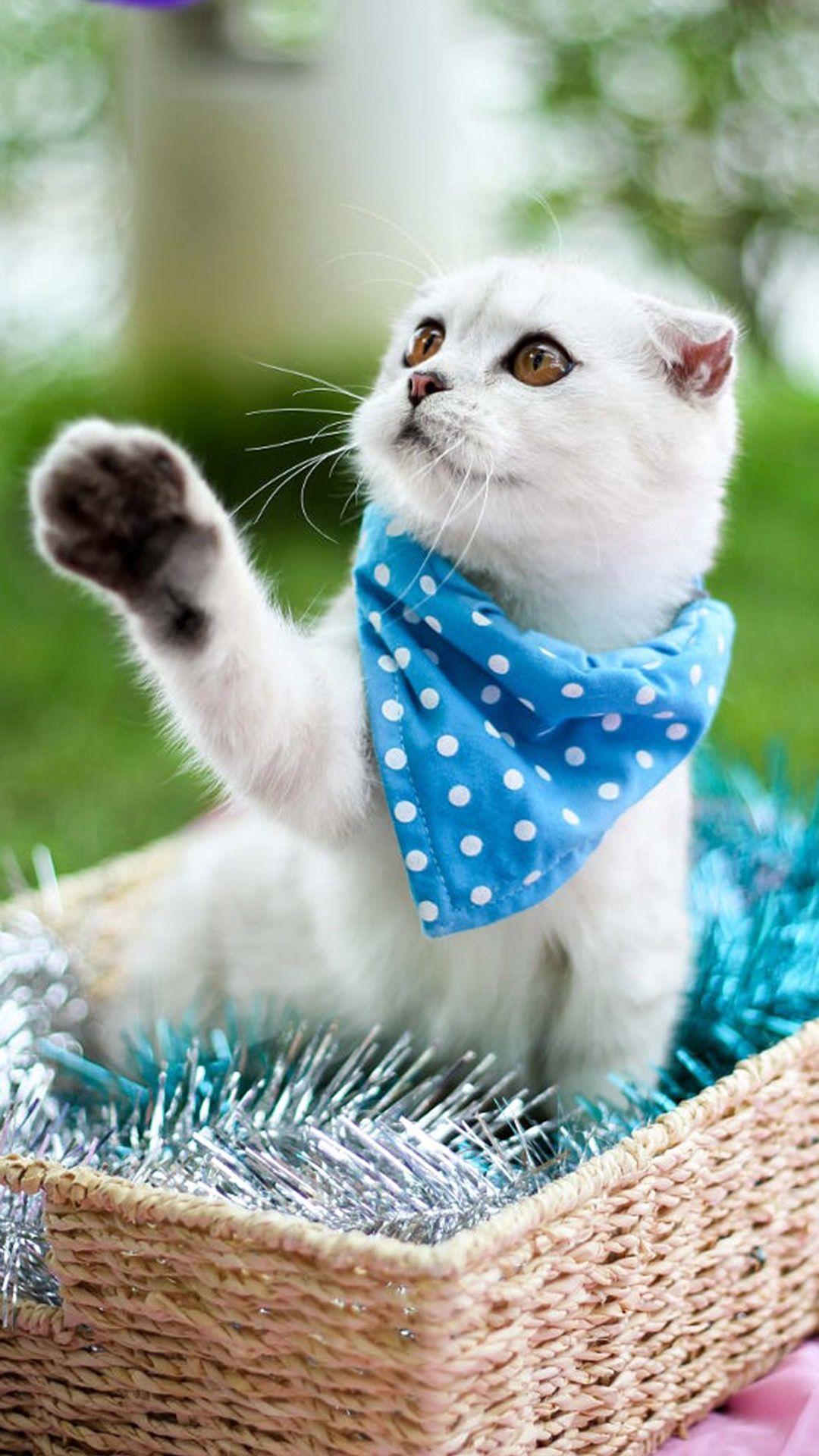 Pin by The Scottish Fold Cat on Scottish Fold Cat Cat