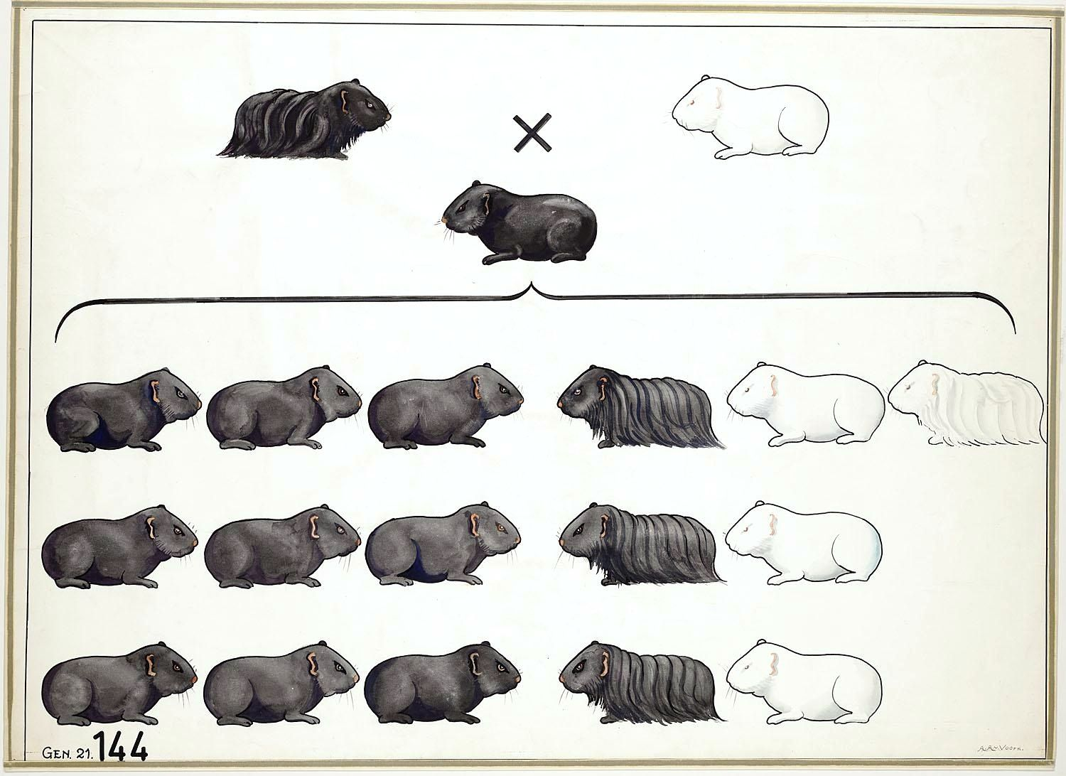 small resolution of vintage genetics chart guinea pig coat color mendelian genetics