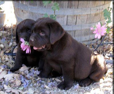 Labrador Retriever Puppies Lab Puppies Chocolate Lab Puppies Labrador Retriever Puppies