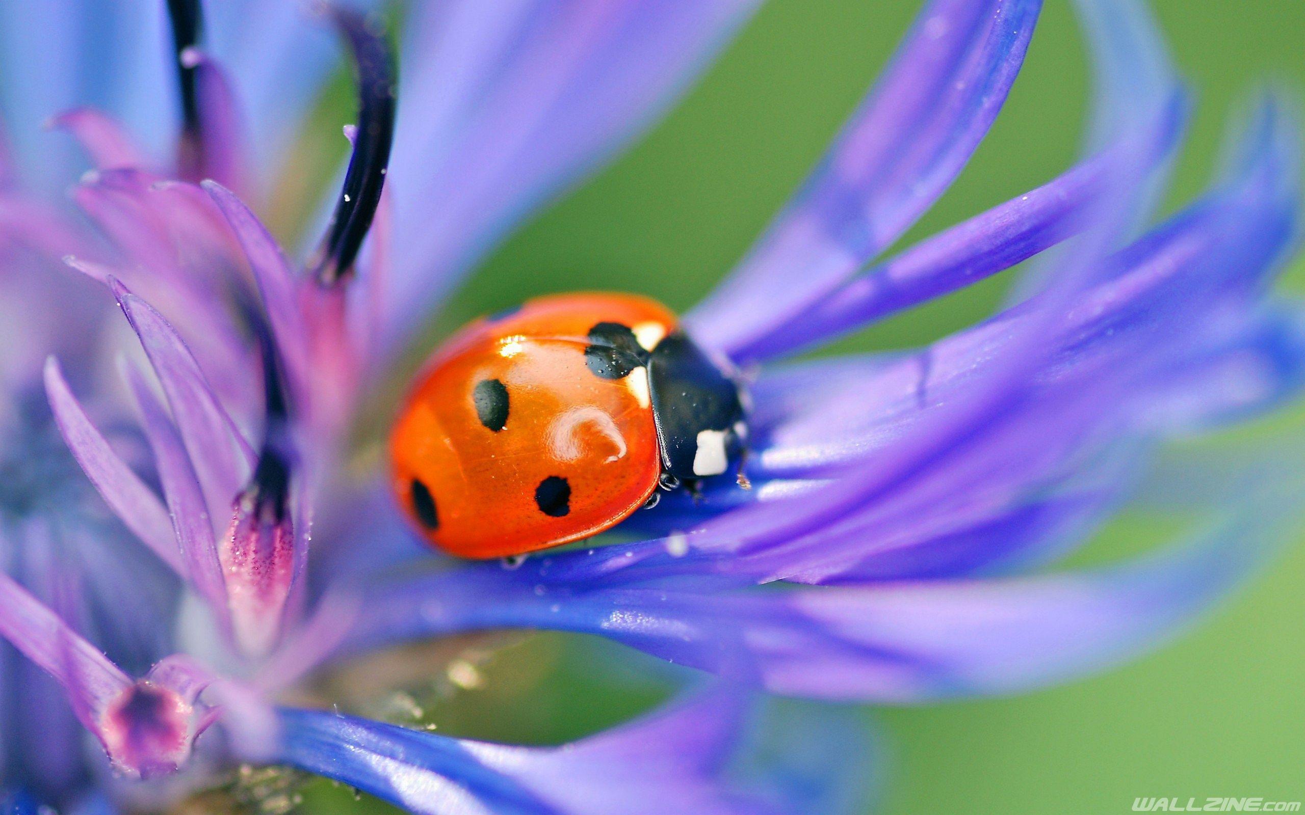 ladybug on a flower wallpaper | hd desktop wallpapers | pinterest
