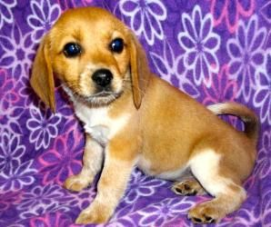 Adopt Roger On Petfinder Beagle Dog Adoptable Beagle Beagle Hound