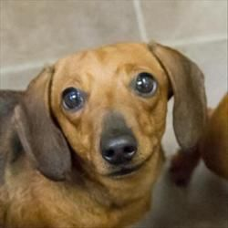 Emma is an adoptable Dachshund Dog in Des Moines, IA. Emma is a super sweet girl who thinks she just might like to be a lap dog. Her life started out pretty rough and she hasn't been handled or worked...