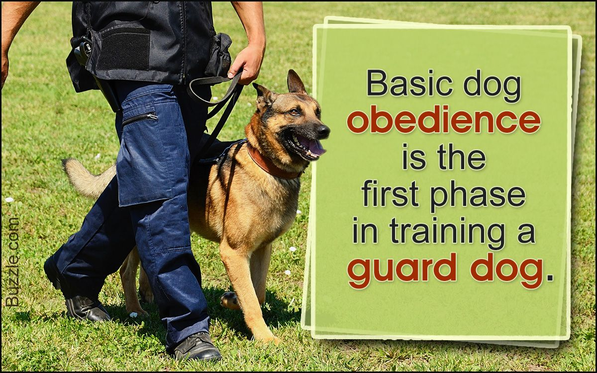 How To Train A Guard Dog Now This Is Something That Should Be