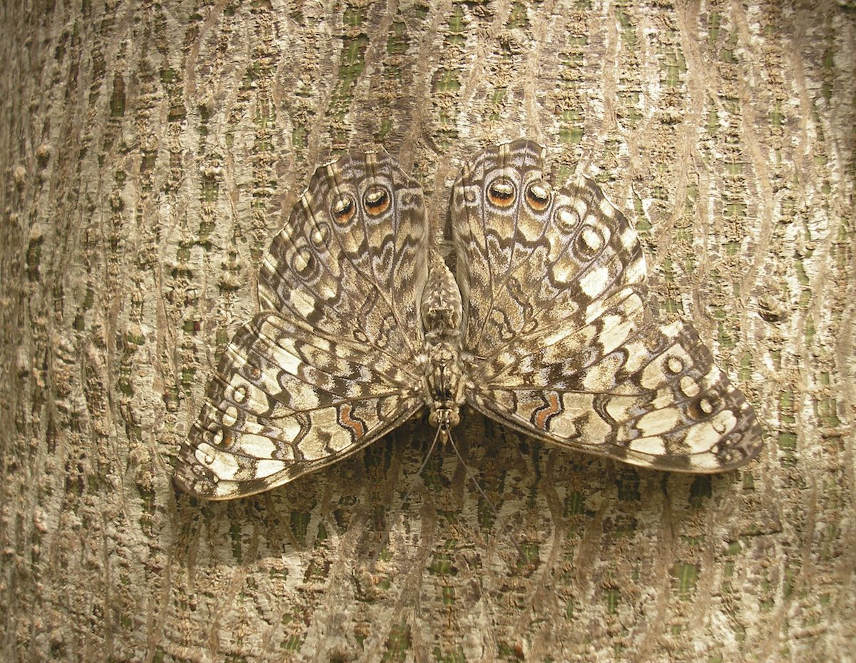 20 Animals Who Have Perfected The Art Of Camouflage Butterfly Camouflage Camouflage Rainforest Butterfly