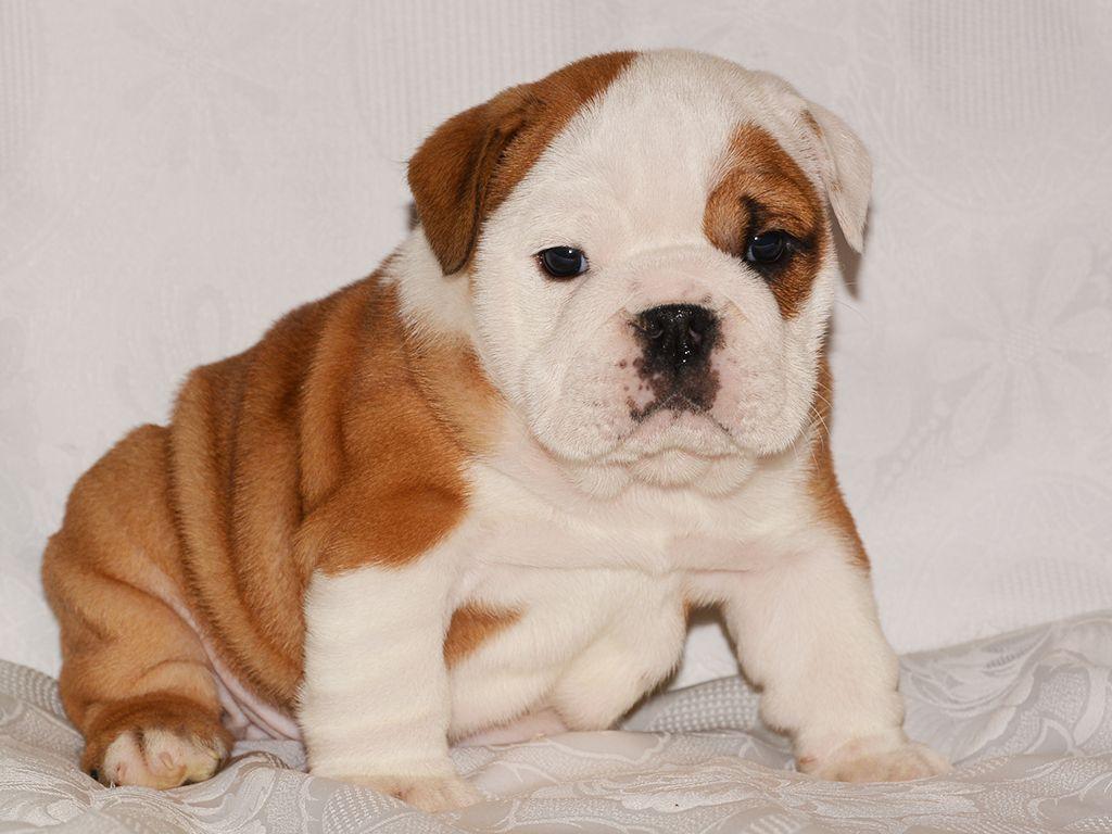 English Bulldog English Bulldog Puppies Bulldog Puppies