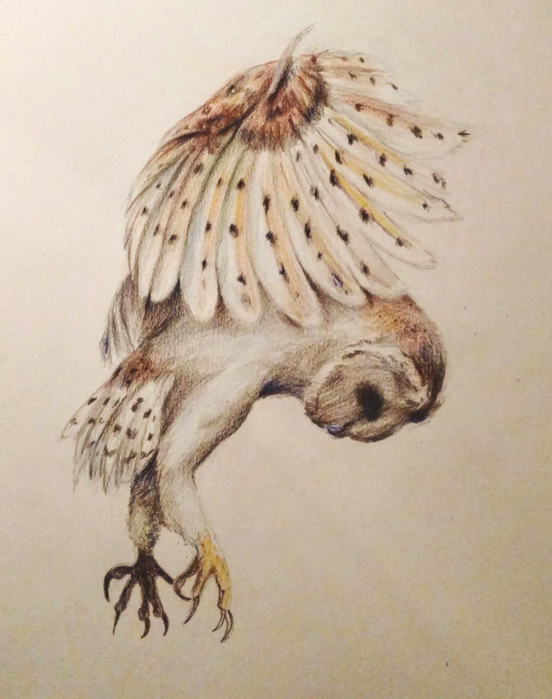 Barn Owl Attack Drawing With Colored Pencil Artist Amanda Leigh Alves