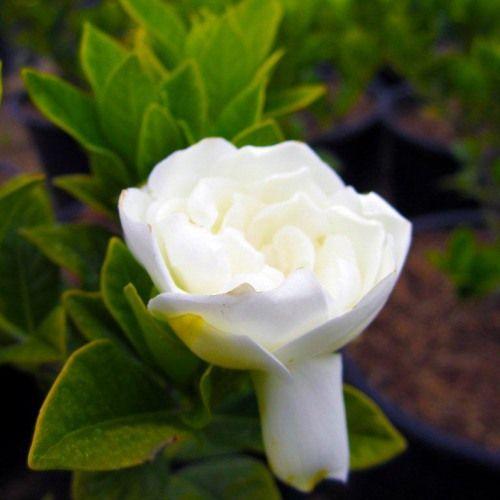 Everblooming Gardenia (Gardenia jasminoides Veitchii