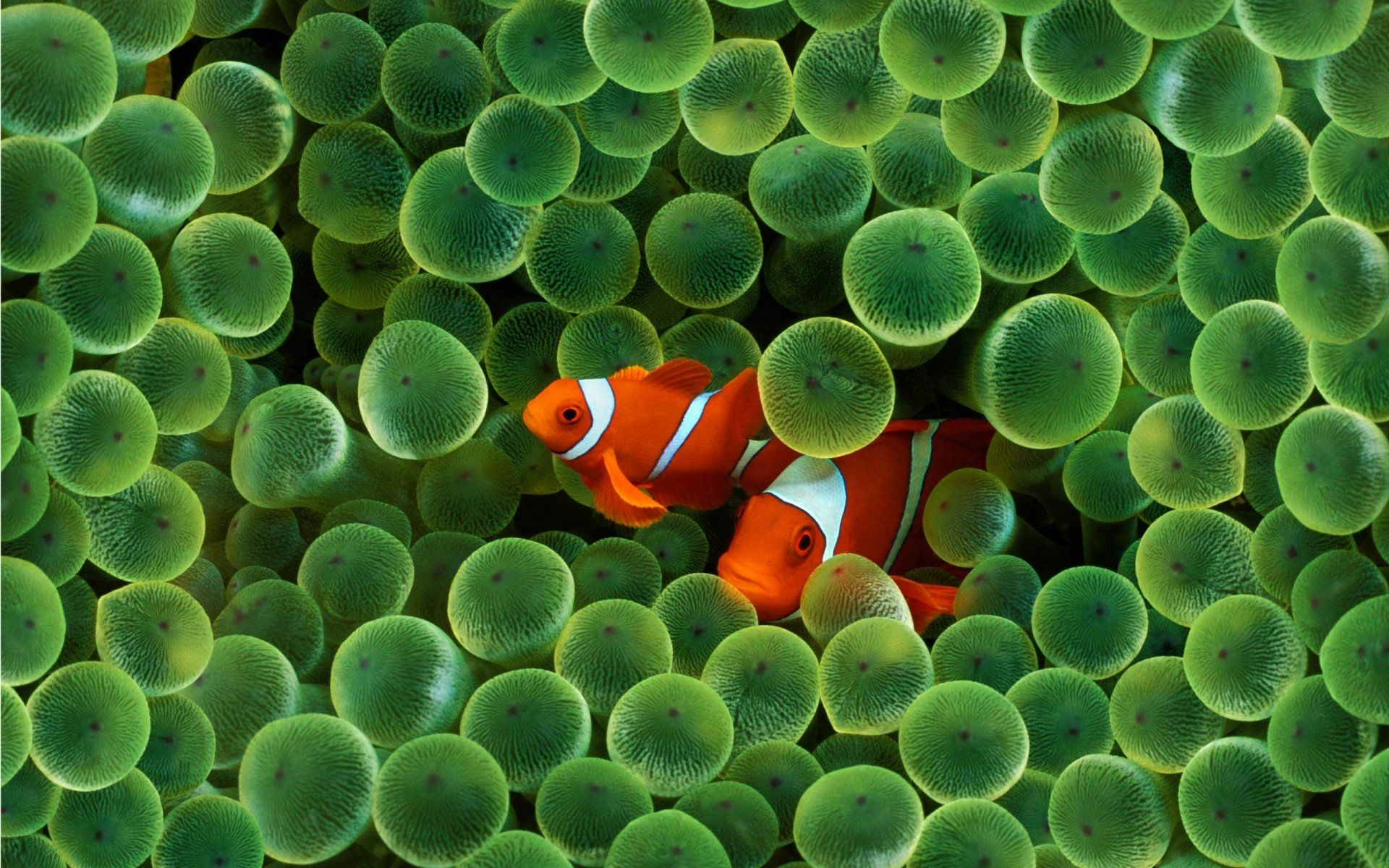 Iphone Clownfish Wallpaper 4k Mywallpapers Site Fish Wallpaper Clown Fish Underwater Wallpaper