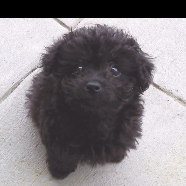 This Is What Pebbles Looked Like As A Puppy Bichon Poodle