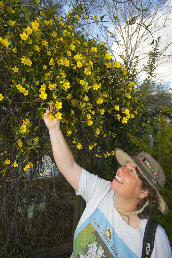 Carolina jessamine the state flower of south carolina carolina 9 native plants to plant flowering vinesnative plantsyellow mightylinksfo