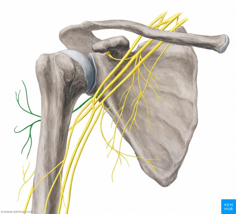 Znalezione Obrazy Dla Zapytania Filum Terminale Axillary Nerve Brachial Nerve Anatomy of filum terminalisthe filum terminale (terminal thread) is a delicate strand of fibrous tissue, about 20 cm in length, proceeding downward from. zapytania filum terminale
