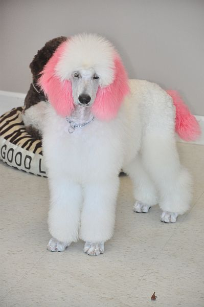 Colorful Dog Grooming Grooming Pinterest Poodle Dog And Pet