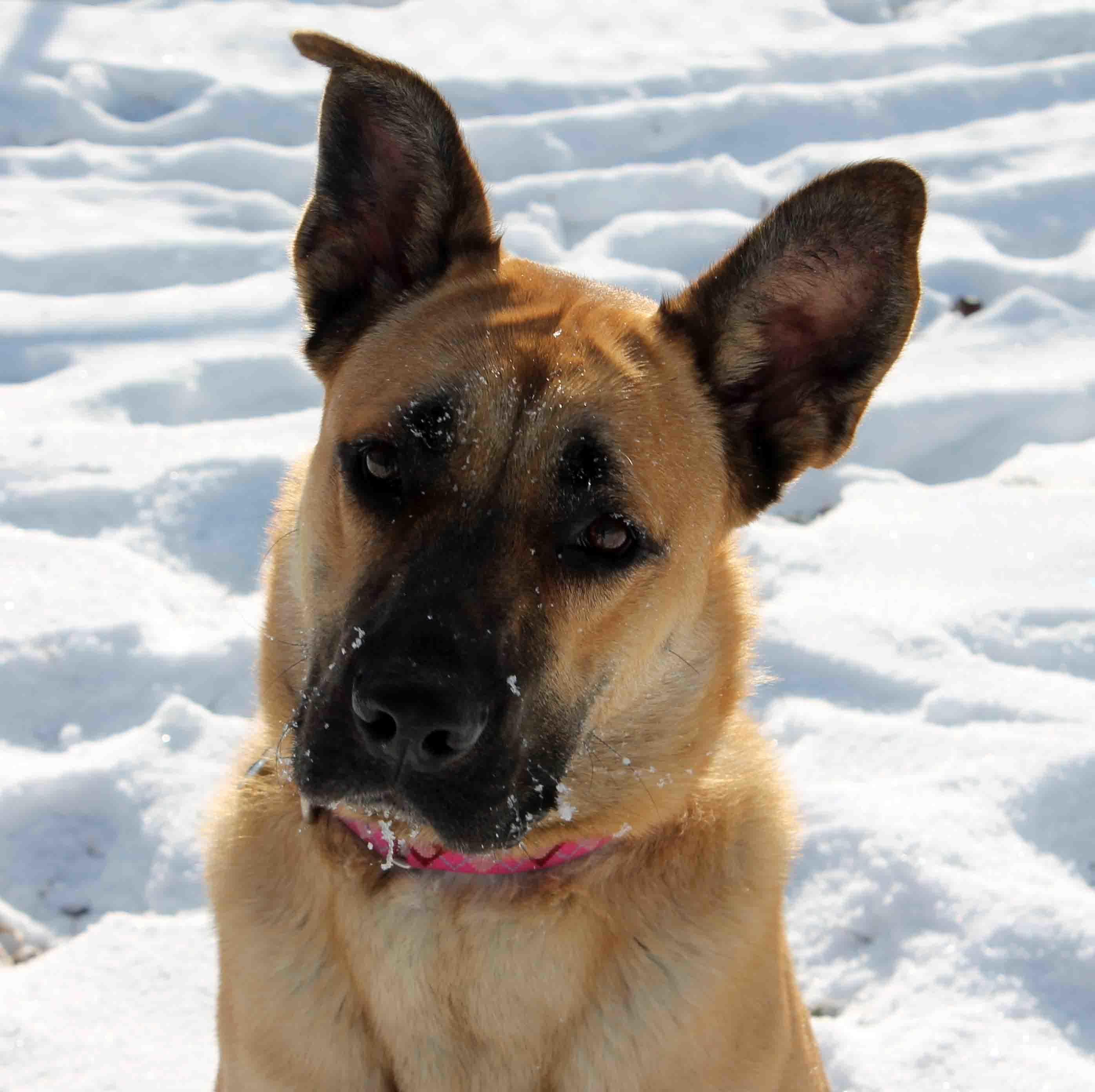 Adopt Mystery on Dog adoption, Shepherd dog mix, Happy dogs