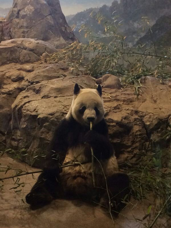 ★! Hermoso Panda ( DC, Zoo) ★