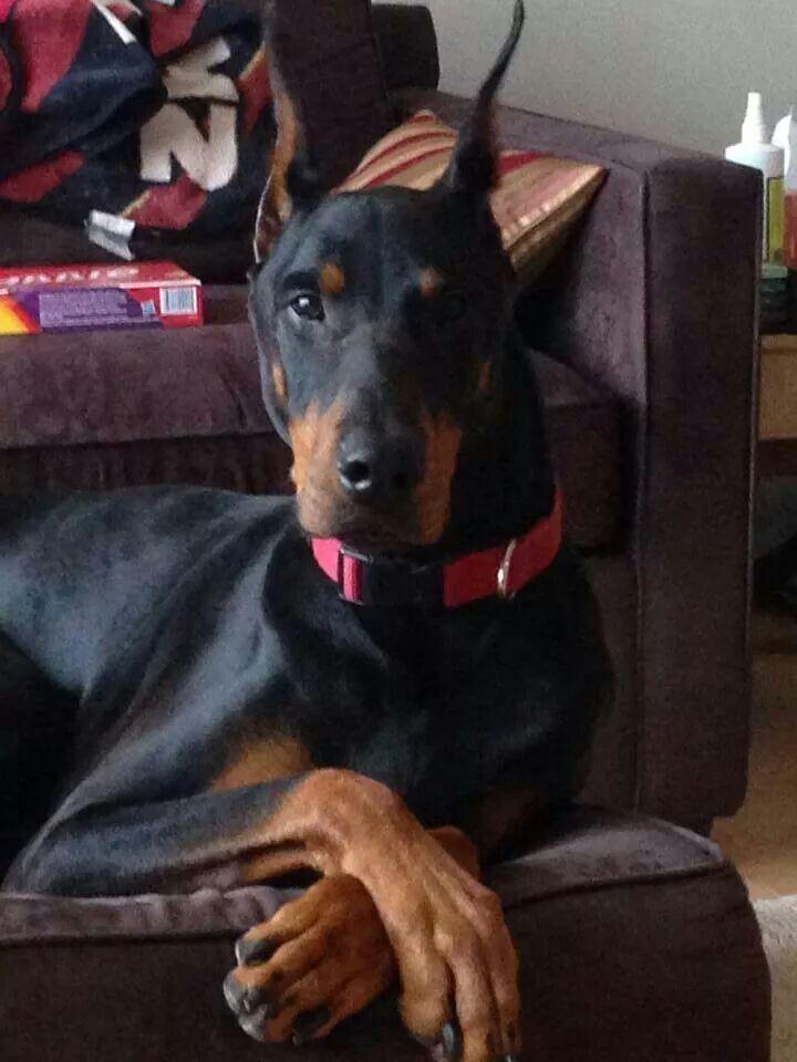 Black Doberman Named Dante Doberman Dogs Doberman Pinscher Dog