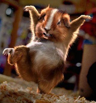 Kung foo guinea