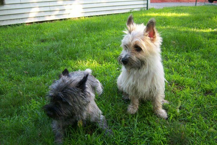 Isla Finn Toto Dogs Cairn Terrier Dogs Animals